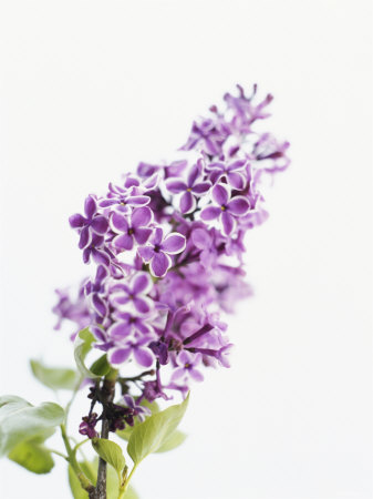 lilac-beauty (337x450, 27Kb)