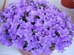 Комнатный цветок с голубыми цветами название
