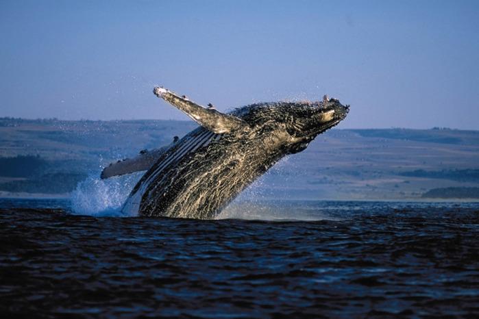 whales (700x466, 97Kb)