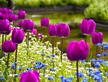 tulip6_thumb (370x281, 53Kb)