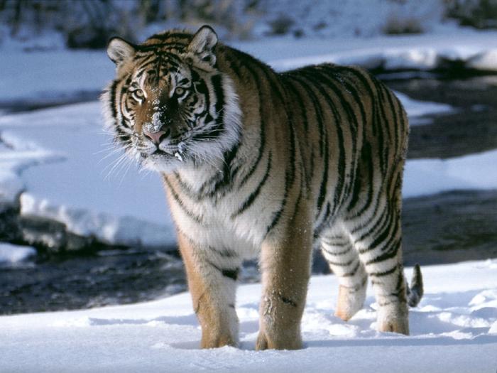 tiger_10 (700x525, 274Kb)