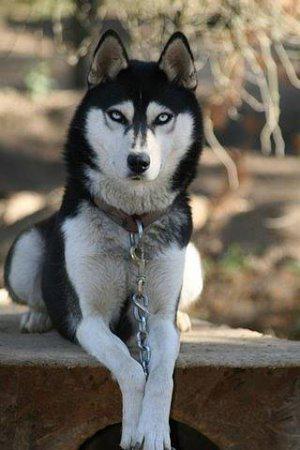 Сибирский хаски (англ.  Siberian Husky) - порода собак, выведенная как...