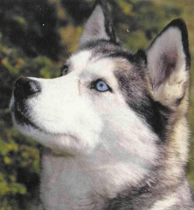 Сибирская хаски появилась у племени чукчей как выносливая ездовая собака.