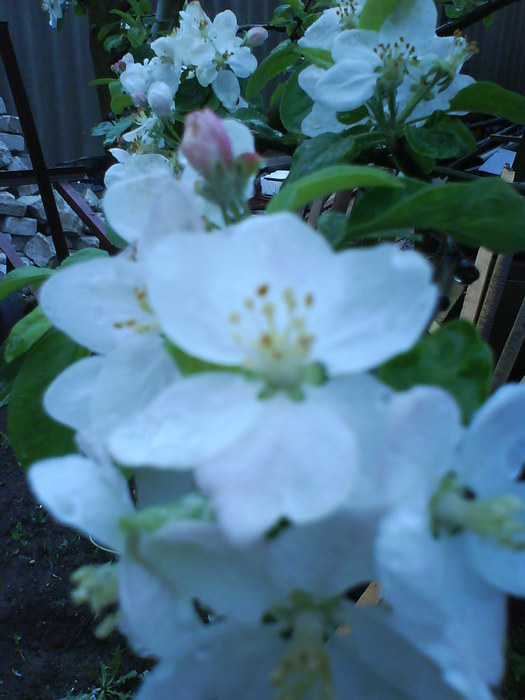 яблоня (525x700, 74Kb)