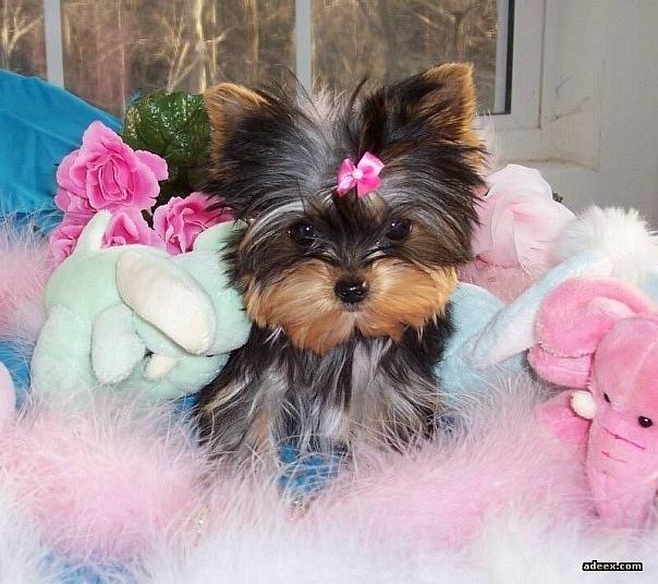 Это порода добрых и отзывчивых миниатюрных собак, которая...