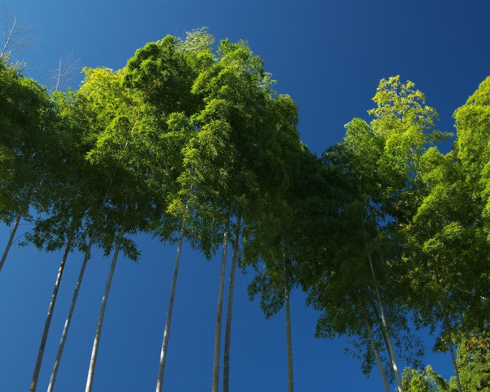 bamboo8-c (700x560, 97Kb)