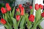Выгонка тюльпанов (167x112, 58Kb)