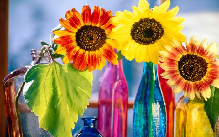 sunflowers_variety--852679 (700x437, 147Kb)