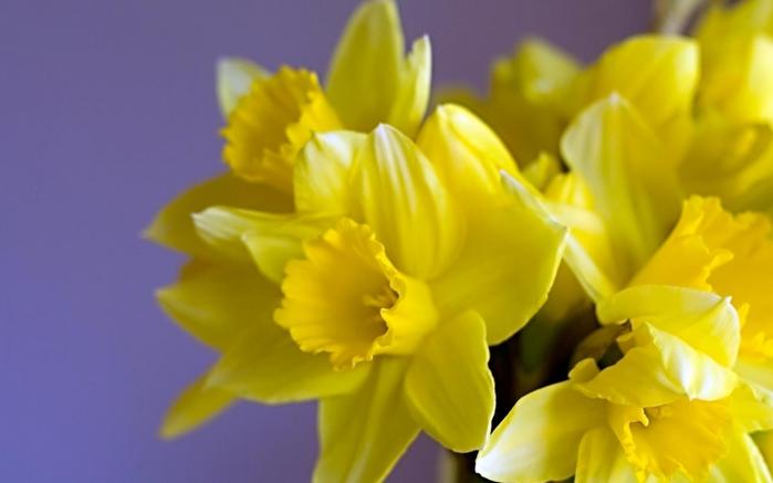 1901311_daffodils09_czmj_ncsa (700x437, 150Kb)