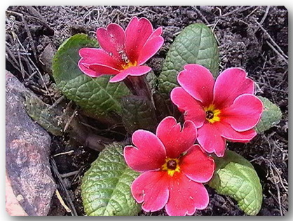 photo-017-primula-pervocvetnye (418x315, 83Kb)