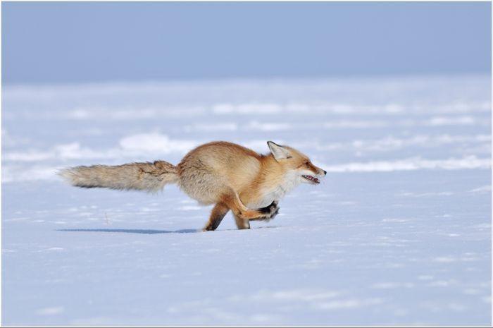 лиса несётся по снегу (700x465, 27Kb)