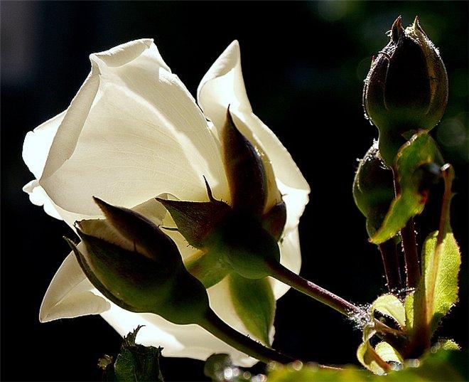роз бел2 (660x537, 65Kb)