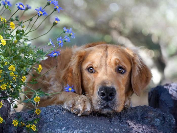 Картинки ретривер, собака, морда