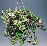 188 org Растение Близнеца.