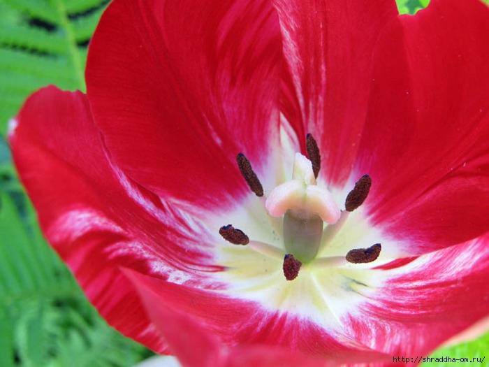 дача, май, цветы,Shraddha1 (700x525, 198Kb)