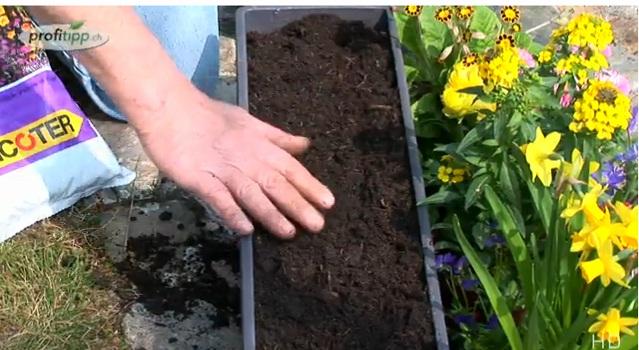 В цветочный ящик насыпаем сначала тонкий слой свежего питательного грунта.  Это может быть земля из сада или обычная...