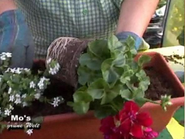 Шаг 3: посадка Составляя цветочные композиции в ящиках, руководствуйтесь теми же законами посадки растений...