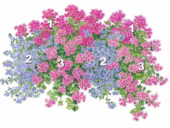 Mexica Nealit' (3), бросающаяся в глаза своими нежными розовыми цветками в белую полоску. герань.