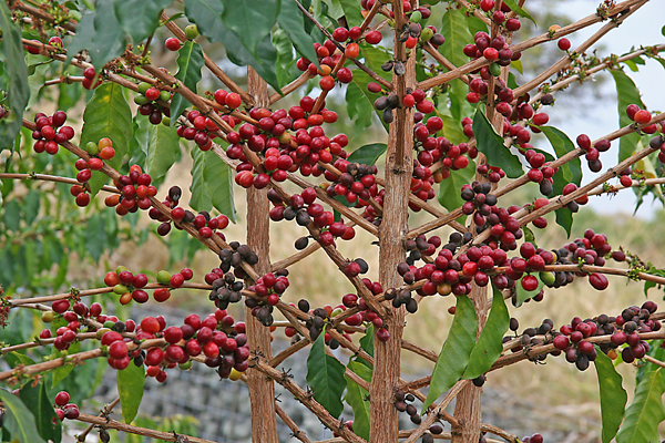 3368205_coffee_tree_1 (600x400, 400Kb)