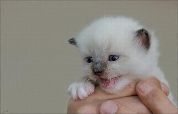 Белые котята, это прелесть