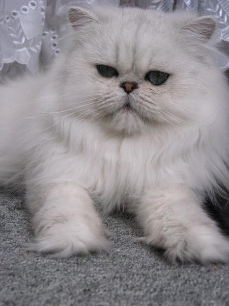 фото: Отдам персидскую кошечку.