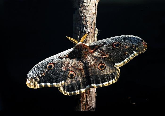 ночные бабочки фото с названиями