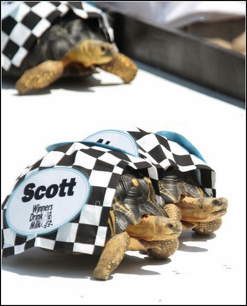 3518263_turtlesracing5 (486x600, 61Kb)