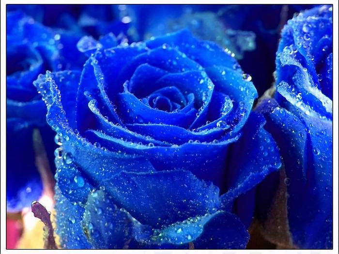син роз1 (700x525, 150Kb)