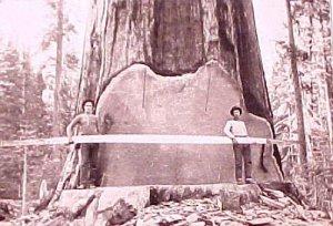 дерево2 (300x204, 23Kb)
