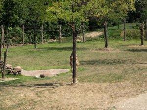 жираф4 (300x225, 22Kb)