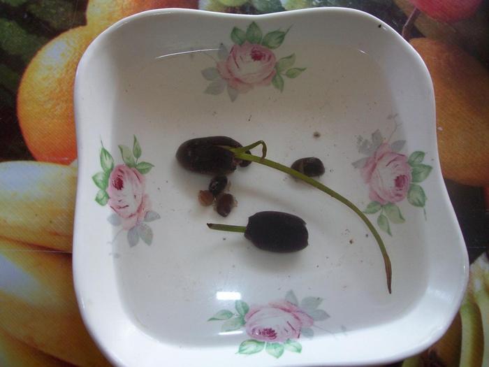 Как сажать лотос из семян 4