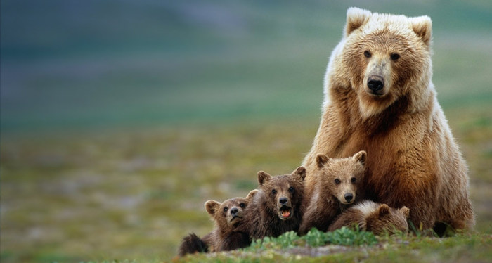 GrizzlyMom_ROW116078461 (700x374, 54Kb)