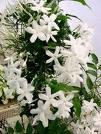 Жасмин (Jasminum) - кустарник семейства маслиновых с белыми звездообразными очень душистыми цветками.