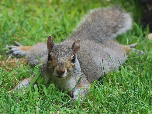 2656527839_a199665bfc Pancake Squirrel_M (500x375, 144Kb)