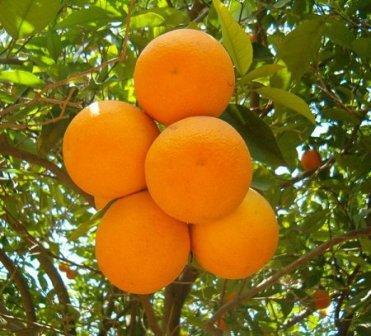 apelsin (371x336, 32Kb)