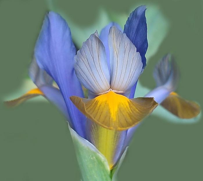 ирисы цветы фото: