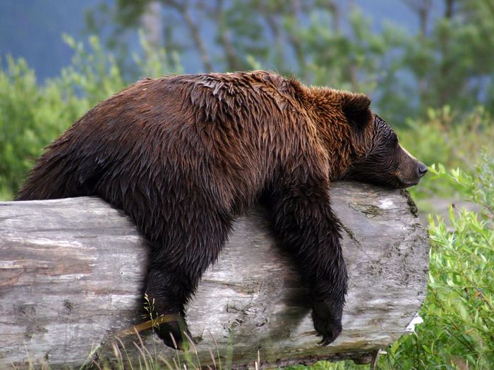 sleepy-grizzly-bear_22670_990x742 (700x525, 78Kb)
