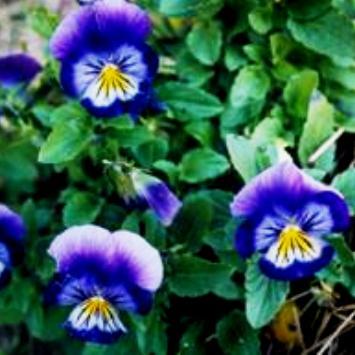 viola (355x355, 23Kb)