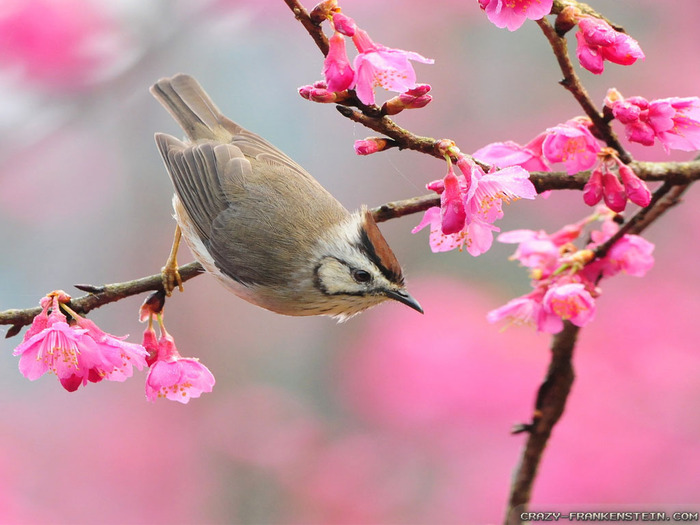 bird-at-spring-time-wallpapers-1024x768 (700x525, 106Kb)