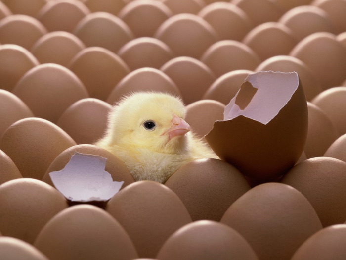 just-hatched-cute-little-yellow-chick-chicken (700x525, 74Kb)