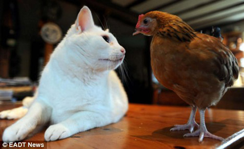cat-chiken-02 (500x306, 38Kb)