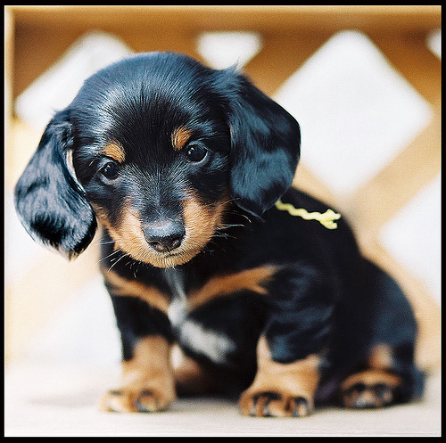 Dachshund-Puppies-For-sale (500x497, 151Kb)