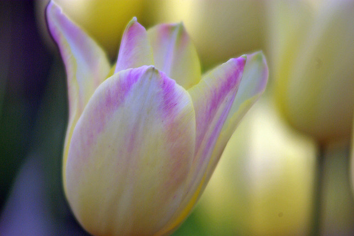 tulips  Flickr - Photo Sharing! (700x467, 846Kb)