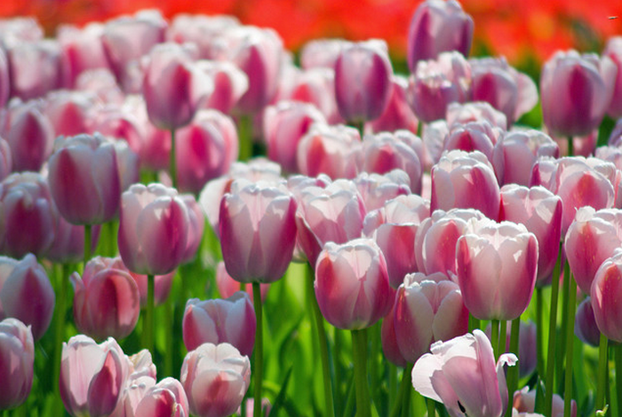 tulips  Flickr - Photo Sharing! (700x470, 910Kb)