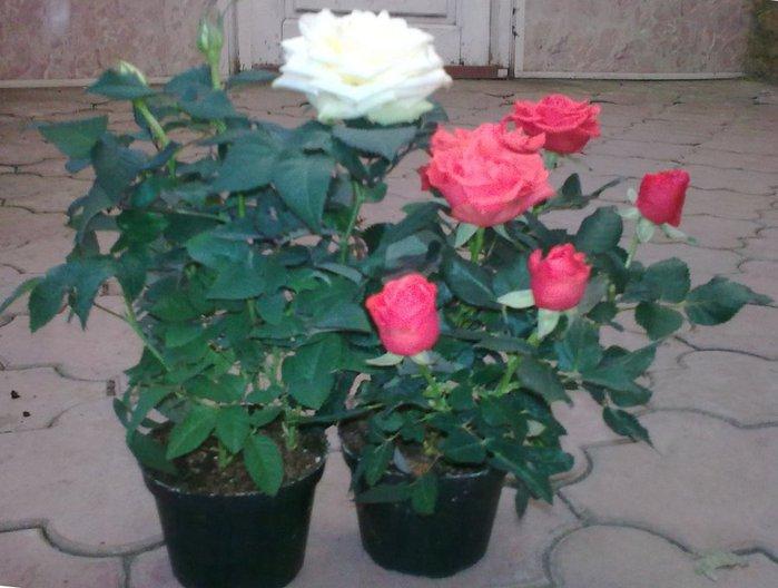 rosa_gorshehcnaja (700x528, 62Kb)