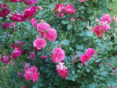 Как выращивать розы?