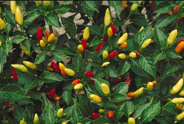 Tabasco_peppers (640x433, 290Kb)