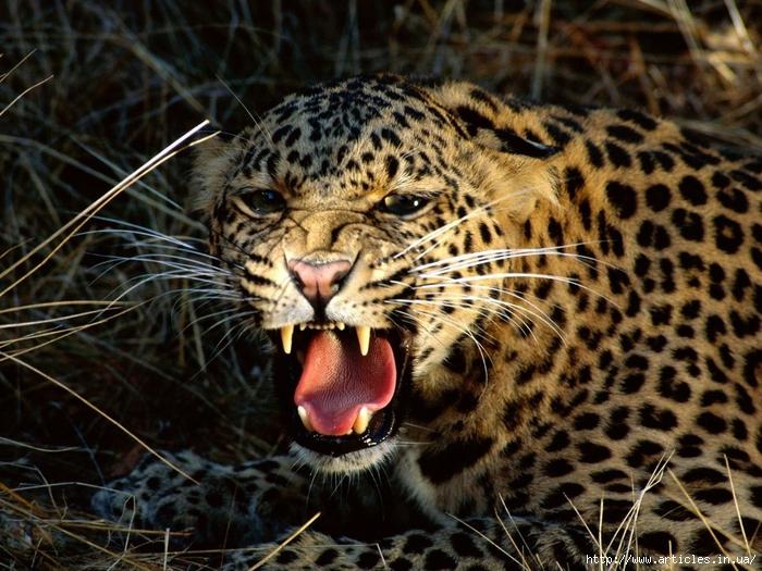 005343 (Леопард, оскал, клыки) (700x525, 353Kb)