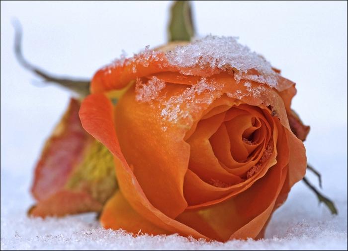роза11 (700x506, 204Kb)
