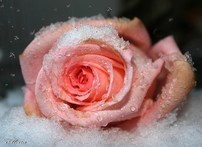 роза5 (700x511, 92Kb)